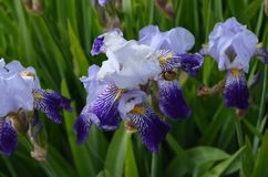 Blue iris. In the garden on the flowerbed. walk with friends looking for flowers Royalty Free Stock Photo