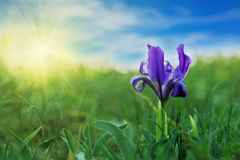 Blue Iris (Iris L.) in the green grass Royalty Free Stock Photos