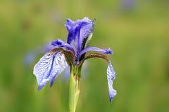 Blue iris, Iris sibirica. Sumava medow Stock Photography