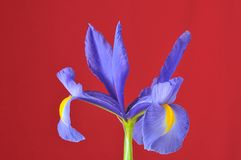 Blue iris, Iris xiphioides. Stock Images