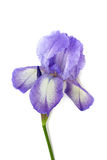 Blue iris isolated on white Royalty Free Stock Photography