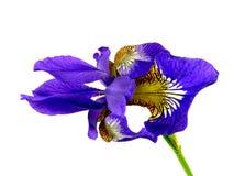 Blue iris Stock Images