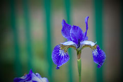 Blue iris. Blue lonely iris flower in a summer garden Royalty Free Stock Photos