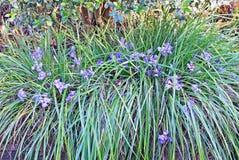 Blue Iris. In Mallorca garden Balearic islands, Spain in January Stock Images