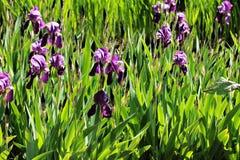 Blue Iris in  my garden. royalty free stock photo
