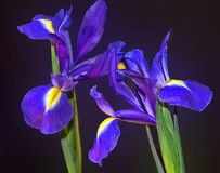 Blue iris Royalty Free Stock Photography