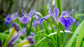 Blue iris pastel. Blue iris blooming in the garden. Raindrops sparkle on the green leaves Royalty Free Stock Photo