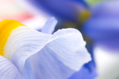 Blue Iris petals Royalty Free Stock Image