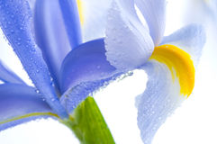 Blue Iris petals. Flower abstract, watedrops on blue Iris petals Royalty Free Stock Photos