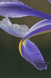 Blue iris petals two Stock Images