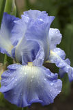 Blue iris with rain drops Royalty Free Stock Photo