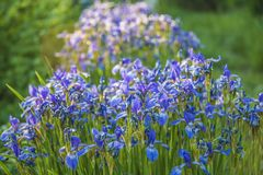 Blue Iris sibirica with water drops on the sunlight. In the spring garden stock images
