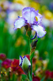 Blue iris tectorum Royalty Free Stock Image