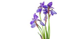 Blue iris Royalty Free Stock Images