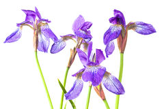 Blue iris Stock Photos