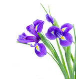 Blue irise flowers close up Royalty Free Stock Image