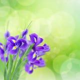 Blue irise flowers royalty free stock photography