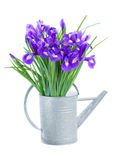 Blue irise flowers in watering can Stock Photos