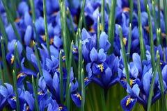 Blue irises Royalty Free Stock Images