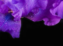 Blue irises against black Royalty Free Stock Photos