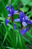 Blue Irises Stock Image