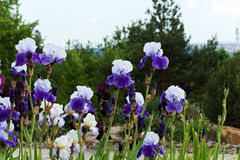 Blue irises Stock Images
