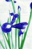 Blue irises. Big purple iris on a white background Stock Images