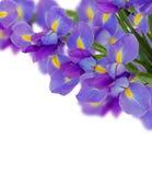 Blue  irises border Stock Image