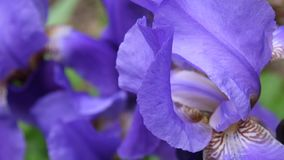 Blue irises closeup moving on the wind. Video footage HD static camera. Blue irises closeup. Video footage HD static camera stock video