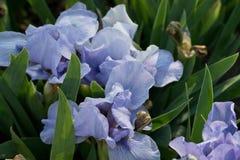 blue irises Stock Images