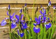 Blue irises flowering plants. Stock Photography