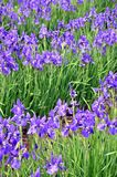 Blue irises in a garden Stock Images