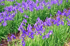 Blue irises in a garden Stock Image