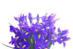 Blue irises and pik tulips stock photography