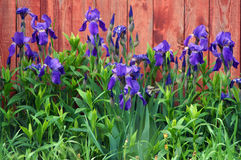 Blue irises on red fence Stock Photo