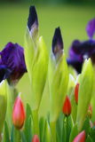 Blue irises and tulips Royalty Free Stock Image