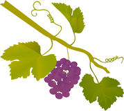 Blue isolated grape illustration Stock Photo