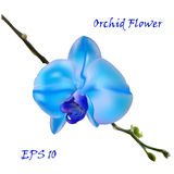Blue isolated orchid flower Royalty Free Stock Photo