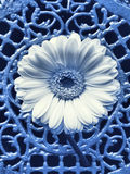 Blue Italy. Conceptual cyano type photographic reproduction showing a gerber daisy sticking outof an antique Italian filligree fence Royalty Free Stock Image
