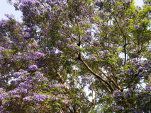 Blue Jacaranda Stock Photography