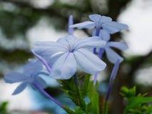 blue jasmines royalty free stock photography