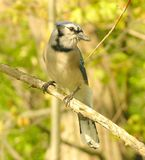 Blue Jay 1. Blur jay perched on a tree branch royalty free stock photography