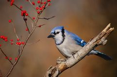 Blue Jay 1. Blue Jay perched on a tree branch stock photography