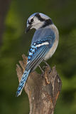 Blue jay Royalty Free Stock Photography