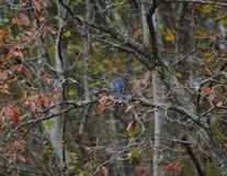 Blue Jay lizenzfreie stockfotos