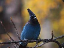 Blue Jay lizenzfreie stockbilder