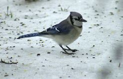 Blue Jay. In The Snow Royalty Free Stock Photo