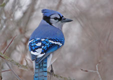 Blue Jay. Photograph of a Blue Jay perched on a branch in a winter woodland stock photography