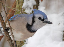 Blue Jay. Photograph of a Blue Jay perched on a branch in a winter woodland Royalty Free Stock Photo