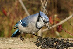 Blue-jay. Feeding On Seeds In Morning Sun Royalty Free Stock Photography